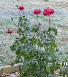 Red roses covered with frost. On the street, winter Royalty Free Stock Photography