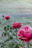 Red roses covered with frost. On the street, winter Stock Photos