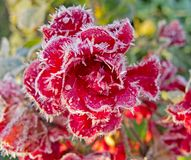 Red roses covered with hoarfrost royalty free stock image