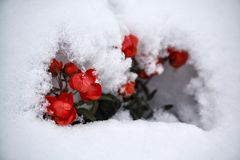 Red roses covered with snow close-up stock photo