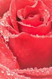Red roses detail with drops of water Stock Images