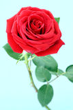Red roses. Royalty Free Stock Photo