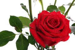 Red roses with dew Stock Image