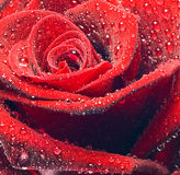 Red roses dew Royalty Free Stock Images
