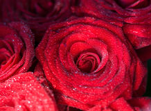 Red roses with drops of water Royalty Free Stock Image
