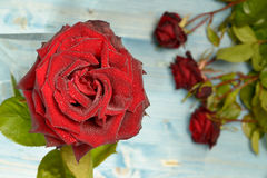 Red Roses on a Flat Layer Royalty Free Stock Photo