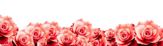 Red roses floral border frame background with wet red pink white roses flowers closeup pattern border panorama.