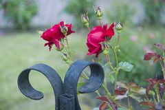 Red Roses in a Flower Bed stock image