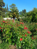 Red roses in the flower bed, fan palm, green trees and bushes in the city park stock photography