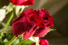 Red roses flower closeup Stock Photo