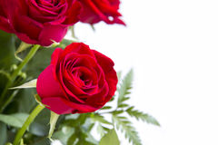 Red roses flower closeup on white background. Royalty Free Stock Images