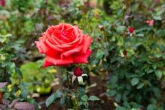 Red roses flower in garden Stock Image