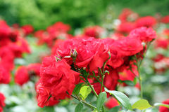 Red roses flower garden Stock Images