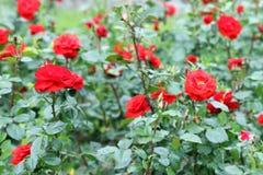 Red roses flower garden spring Royalty Free Stock Images