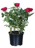 Red roses in a flower-pot Stock Photos