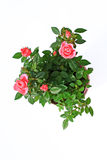 Red roses in the flowerpot Royalty Free Stock Photography
