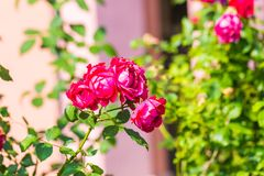 Red roses flowers blooming Stock Images