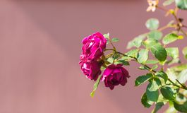 Red roses flowers blooming Stock Photos