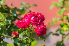 Red roses flowers blooming Stock Photo