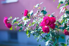 Red roses flowers blooming Royalty Free Stock Photo