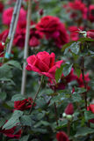 Red roses flowers Stock Images