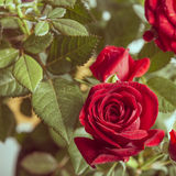 Red roses flowers isolated Stock Photography