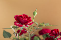 Red roses flowers isolated on a brown background Stock Image