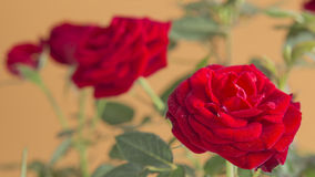 Red roses flowers isolated on a brown background Stock Photos