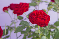 Red roses flowers isolated on a purple background Stock Images