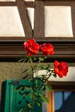 Red roses on framework facade with window green shutters. On a sunny summer morning in south germany city schwaebeisch gmuend stock images