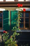 Red roses on framework facade with window green shutters. On a sunny summer morning in south germany city schwaebeisch gmuend royalty free stock photography