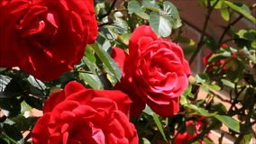 Red roses in the garden stock video footage