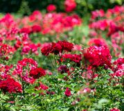 Red roses garden background Stock Photography