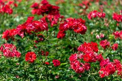 Red roses garden background Royalty Free Stock Images