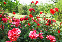 Red roses in the garden Royalty Free Stock Photo