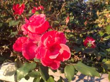 Red roses in the Garden Stock Photography