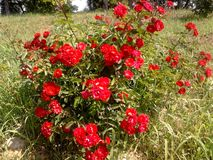 Red roses in the garden royalty free stock photos