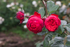 Red roses in the garden Stock Image