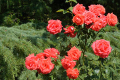 Red roses in garden stock photo