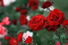Red roses in the garden with green background. Stock Photos
