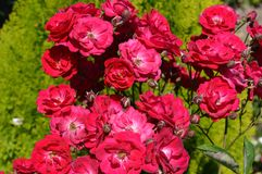 Red roses in the garden Stock Images