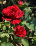 Red roses in the garden, narrow focus area stock photos