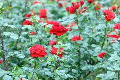 Red roses garden Stock Image