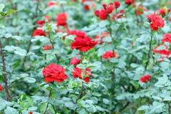 Red roses garden Stock Image