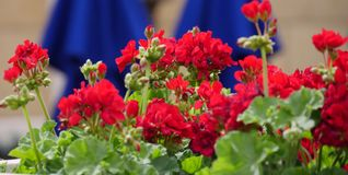 Red roses in a garden. Patch of red roses in a garden royalty free stock images