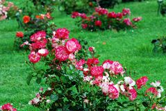 Red roses in the garden in Rome city Stock Photography