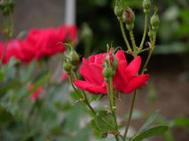 Red roses in a garden. Side view, red roses surrounded by rosebuds in a garden royalty free stock photo