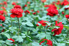 Red roses garden Royalty Free Stock Image