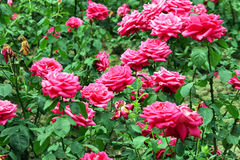 Red roses garden Stock Images