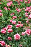 Red roses garden. Spring season Stock Photo